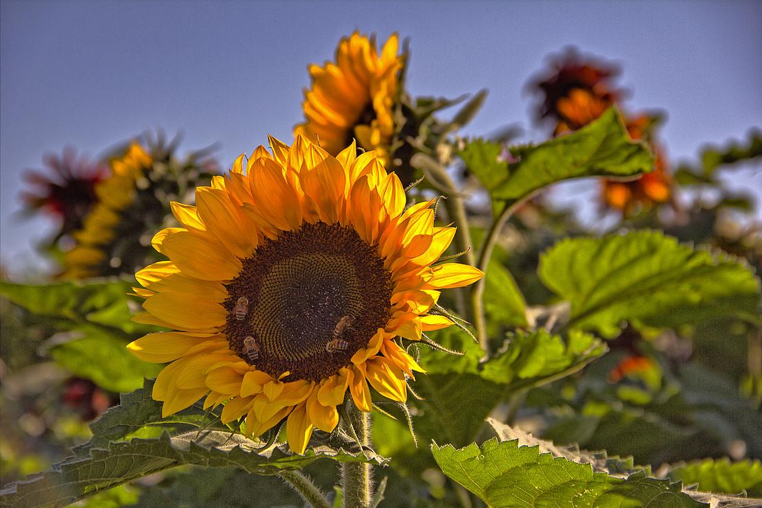 Große Sonnenblume mit vier Bienen in der Mitte der Blüte